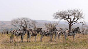Waar leven zebra's