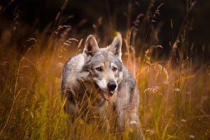 Waarom is het goed dat er wolven zijn