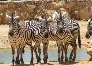 Waarom zijn zebra's niet gedomesticeerd zoals paarden en ezels