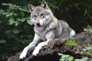 Wat is de wolf voor een dier