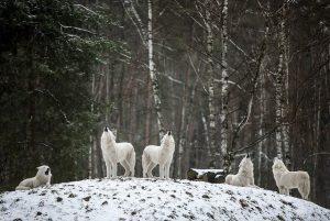 Welke soorten wolven zijn er