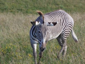 Welke zebra's worden bedreigd