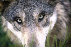 Wie zijn de vijanden van de wolf