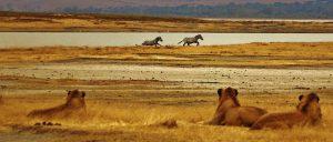 Wie zijn de vijanden van de zebra