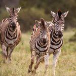 Paardachtigen Zebras
