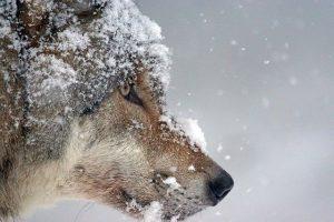 Zijn wolven slimme dieren