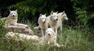 Zijn wolven sociale dieren