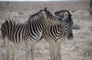 Zijn zebra's sociale dieren