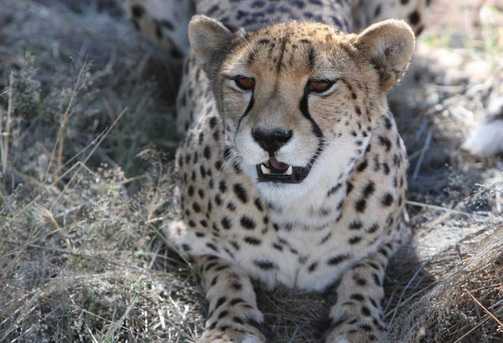 Katachtigen cheeta