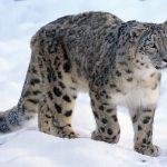 Sneeuwpanter dieren