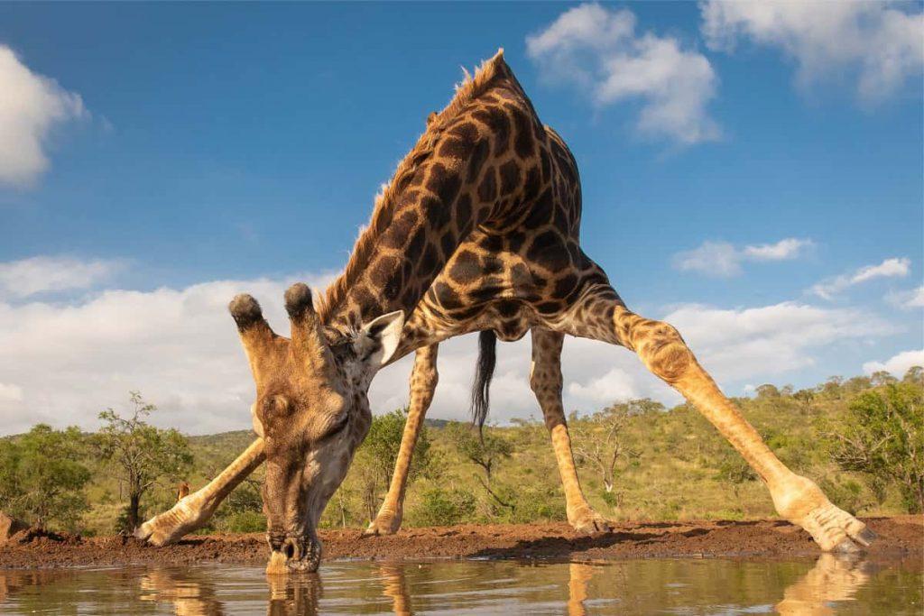 Giraffen drinken