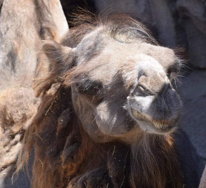 Kamelen kameel