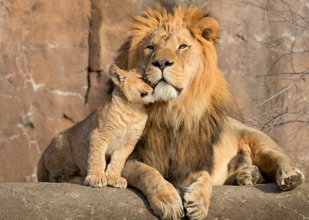 Leeuwen leeuwwelpje