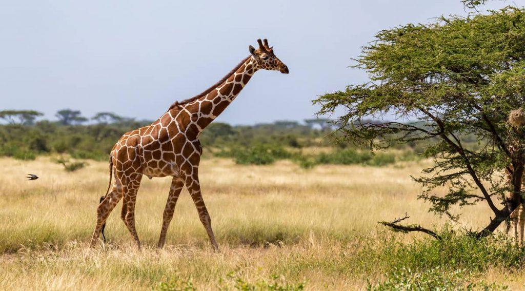 Giraffen lopen