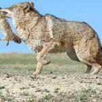 Coyote prooi