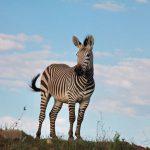 spreekbeurt zebras