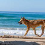 Dingo strand