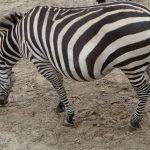 Ezels Equus