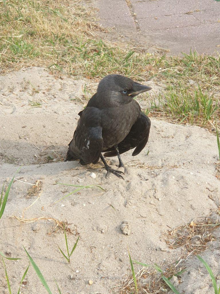 Vogels Kauw