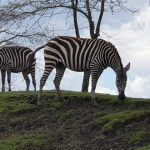 Zebra Zebra's