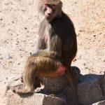 Mantelbaviaan baboons