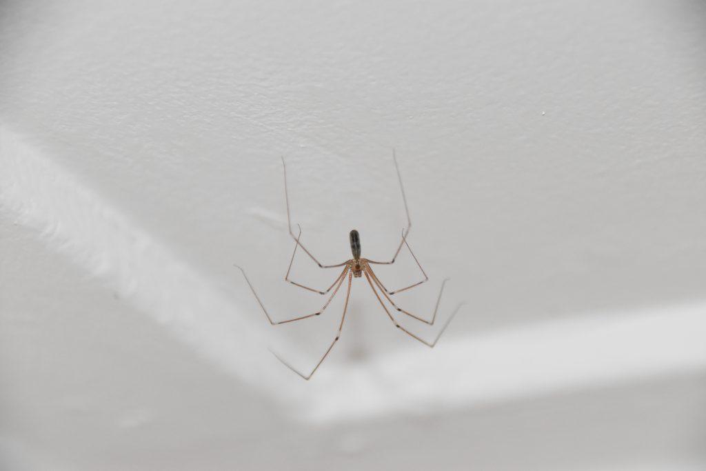 Spinnen bijten