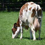 Koeien grazen