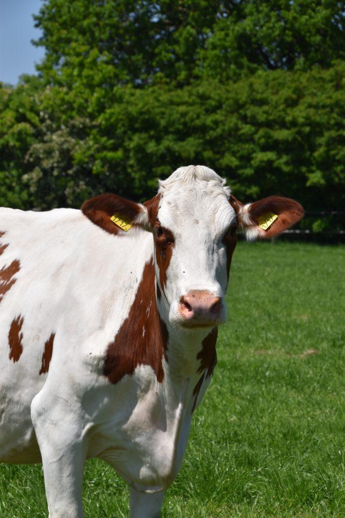 Koeien holhoornigen