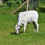 Koeien kalf