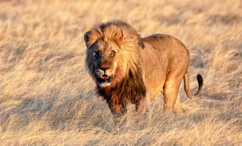 Roofdieren leeuw