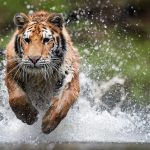 Roofdieren tiger