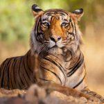 Roofdieren tijger