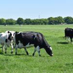 Koeien weiland