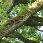 Eekhoorns Eekhoorn