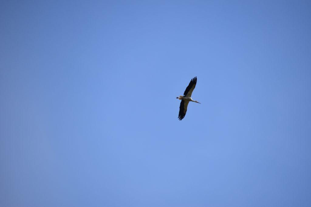 Vogels Ooievaar