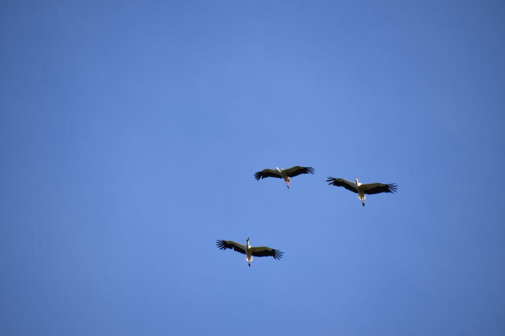 Vogels Ooievaars