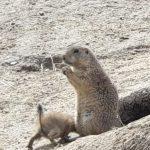 Zoogdieren Prairiehonden