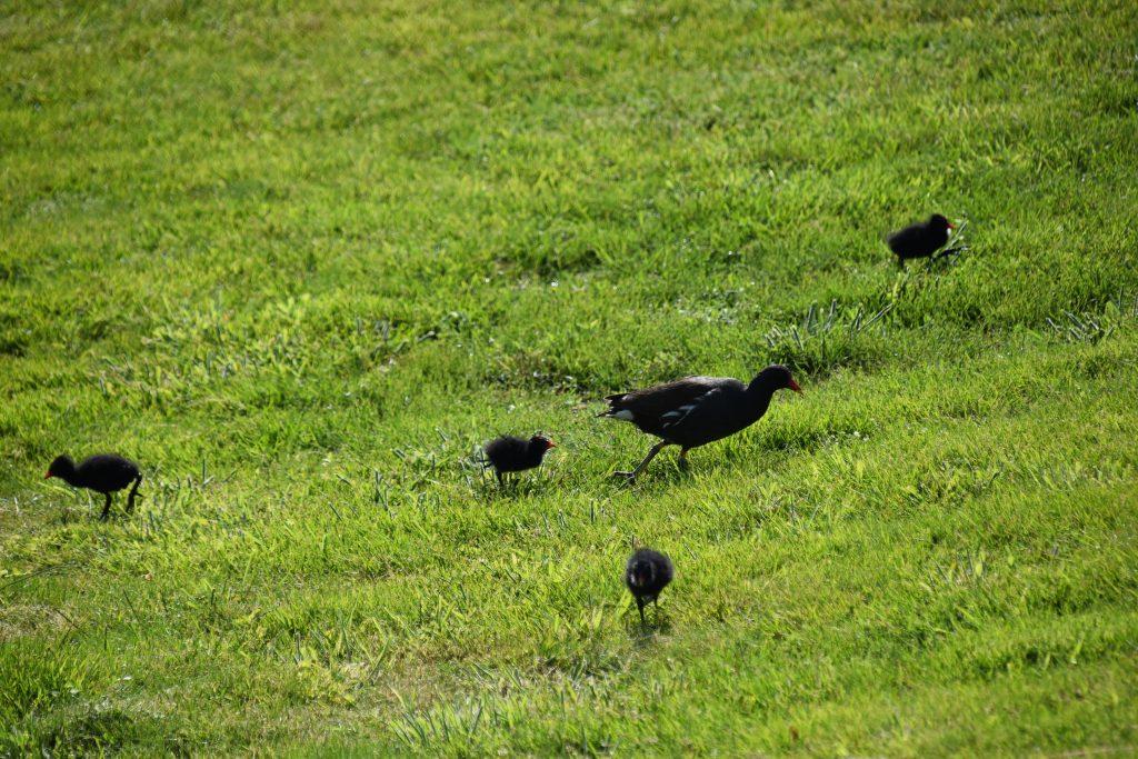 Vogels Waterhoen