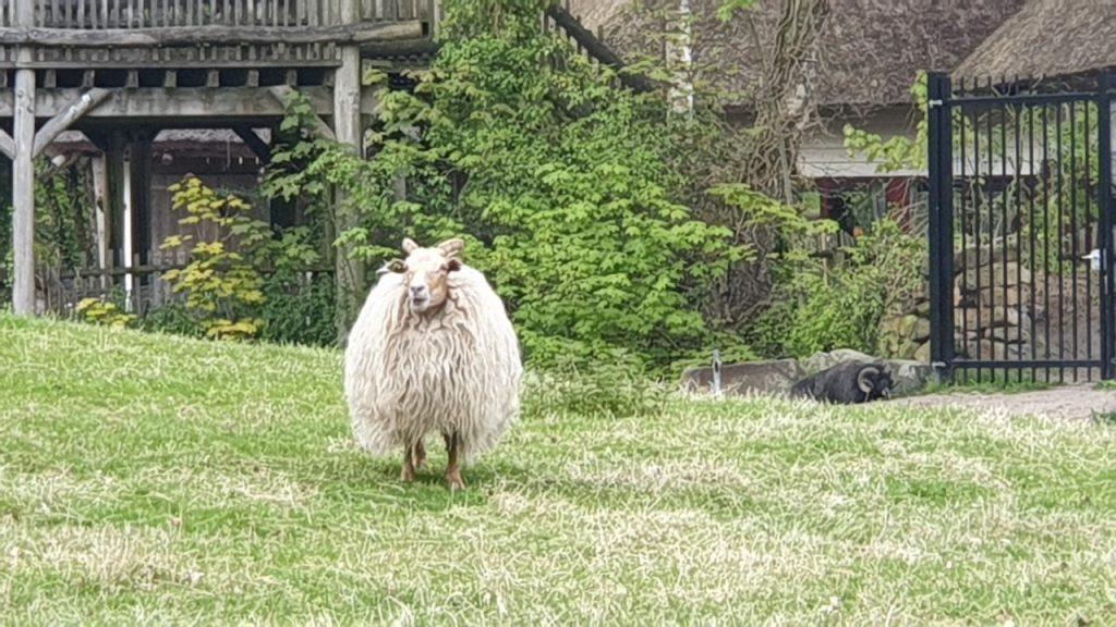 Zoogdieren schaap