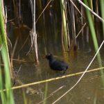 Vogels waterhoentje