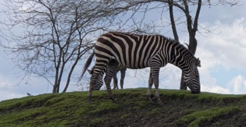 Zoogdieren zebra