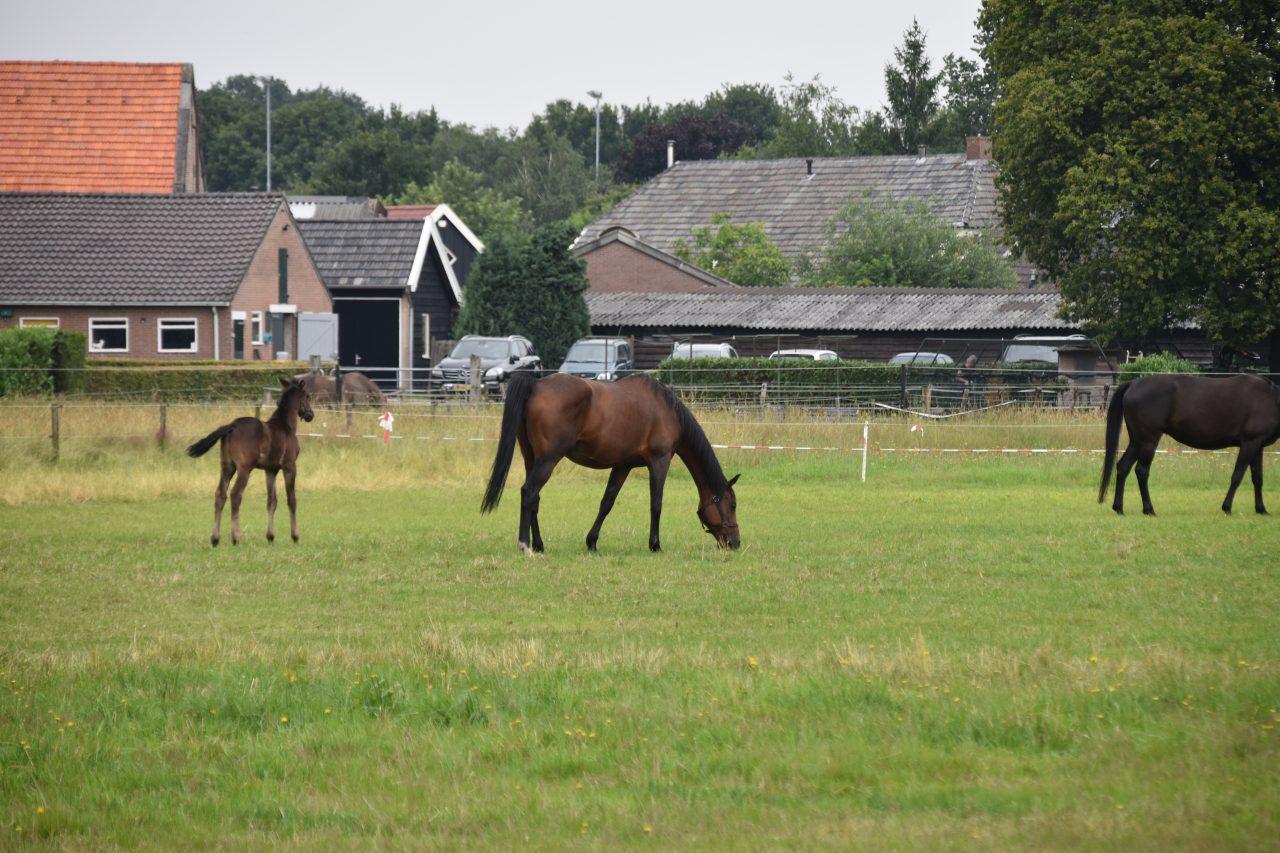 Paard grazen