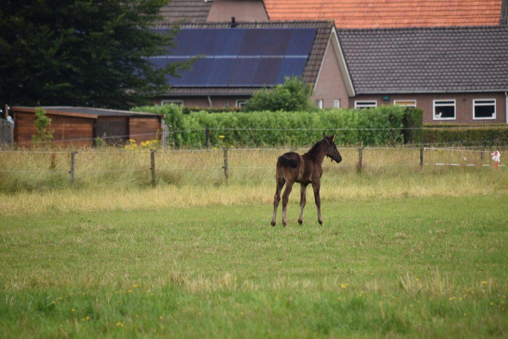 Paard jong
