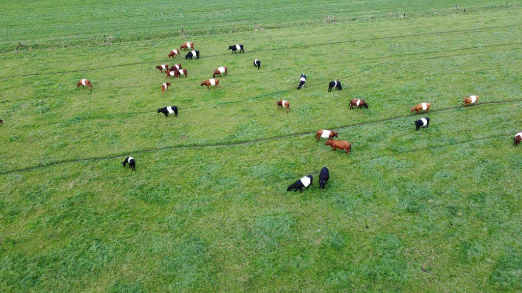 Koeien DJI_0189