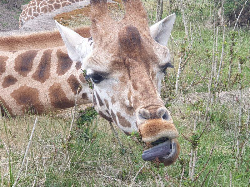 Giraf hoofd
