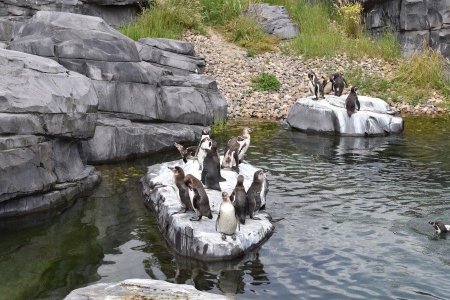 Humboldtpinguins