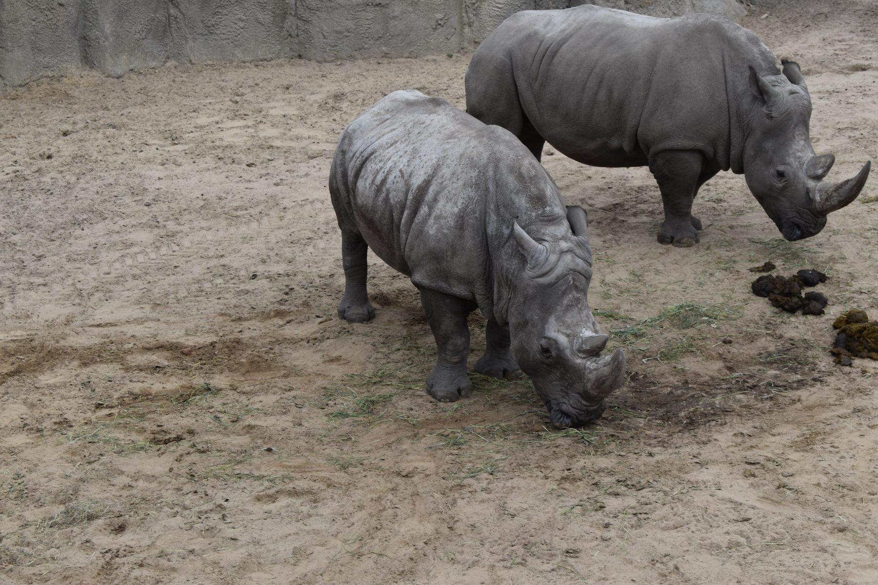 twee witte neushoorns