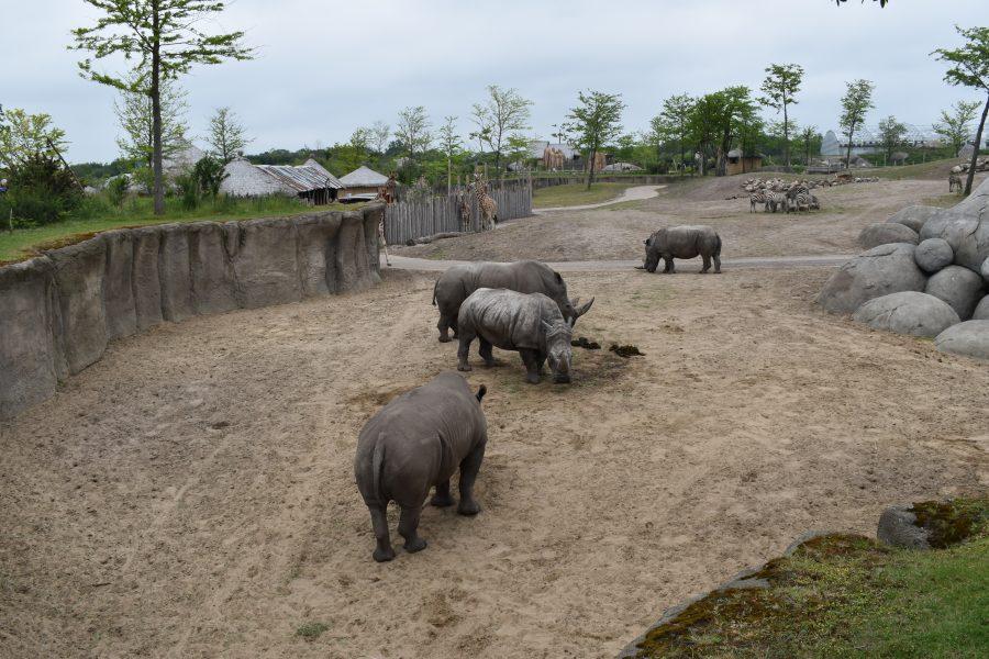 4 witte neushoorns