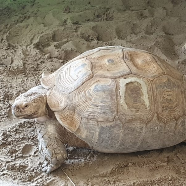 Sporenschildpad2