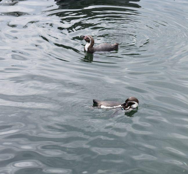 Humboldtpinguin in water